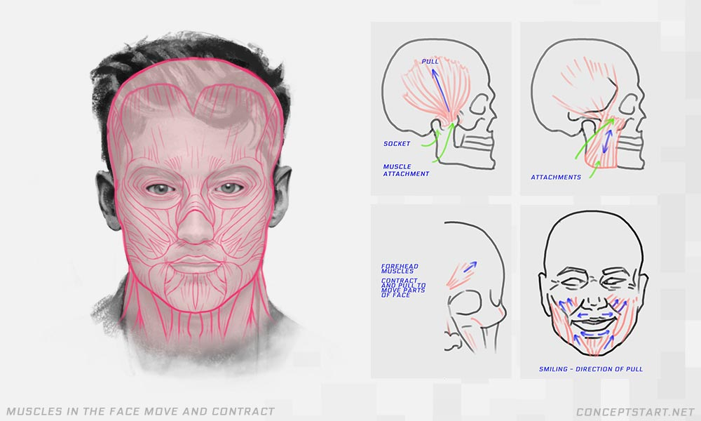 drawing-face-muscles-anatomy